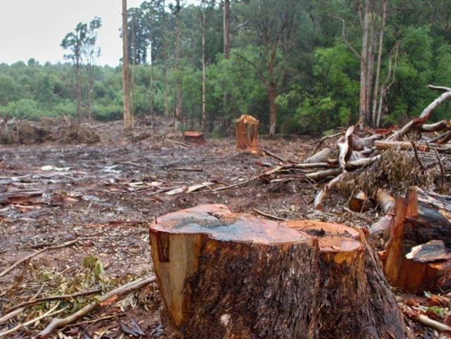 Illegal deforestation continues with the help of politicians