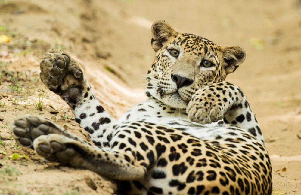 What is needed to keep Sri Lanka's leopards roaming free?
