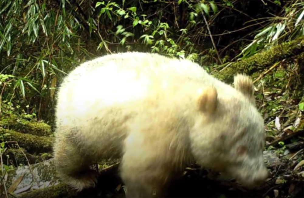 World's only known albino giant panda spotted in China
